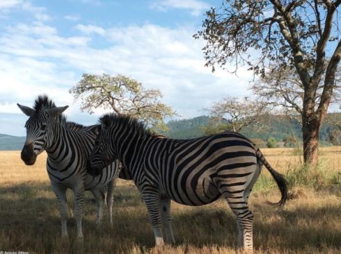 Zebra-cam: mingling with the striped set